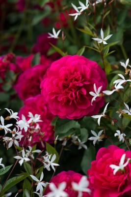 wpid16419-Combining-Roses-with-June-Perennials-GDAV111-nicola-stocken.jpg