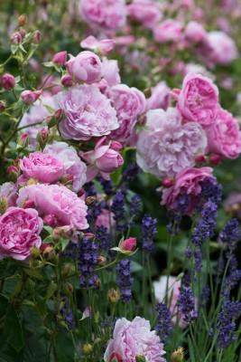 wpid16421-Combining-Roses-with-June-Perennials-GDAV113-nicola-stocken.jpg