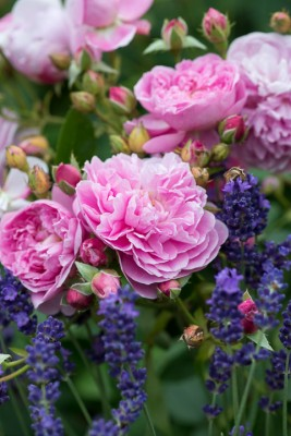 wpid16423-Combining-Roses-with-June-Perennials-GDAV114-nicola-stocken.jpg