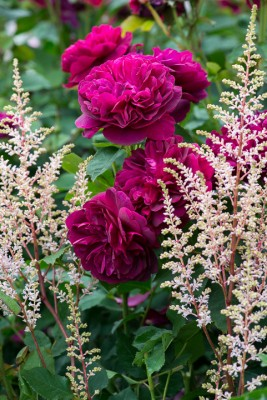 wpid16425-Combining-Roses-with-June-Perennials-GDAV115-nicola-stocken.jpg