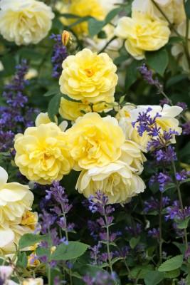 wpid16427-Combining-Roses-with-June-Perennials-GDAV117-nicola-stocken.jpg
