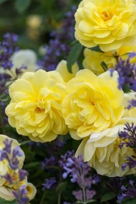 wpid16429-Combining-Roses-with-June-Perennials-GDAV118-nicola-stocken.jpg