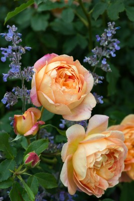 wpid16431-Combining-Roses-with-June-Perennials-GDAV119-nicola-stocken.jpg