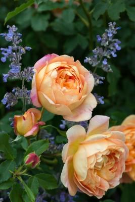 wpid16431-Combining-Roses-with-June-Perennials-GDAV119-nicola-stocken.jpg