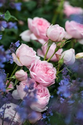 wpid16433-Combining-Roses-with-June-Perennials-GDAV120-nicola-stocken.jpg