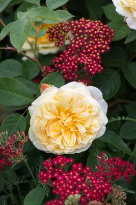 wpid16435-Combining-Roses-with-June-Perennials-GDAV121-nicola-stocken.jpg