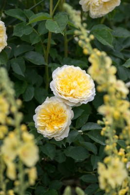 wpid16437-Combining-Roses-with-June-Perennials-GDAV123-nicola-stocken.jpg