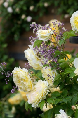 wpid16439-Combining-Roses-with-June-Perennials-GDAV124-nicola-stocken.jpg