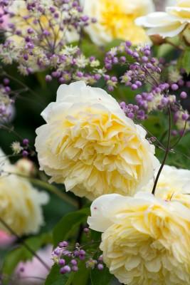 wpid16441-Combining-Roses-with-June-Perennials-GDAV125-nicola-stocken.jpg