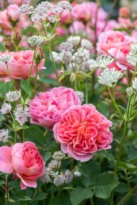 wpid16443-Combining-Roses-with-June-Perennials-GDAV126-nicola-stocken.jpg