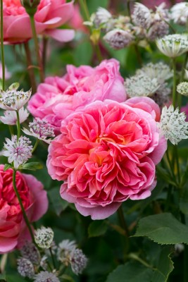 wpid16445-Combining-Roses-with-June-Perennials-GDAV127-nicola-stocken.jpg