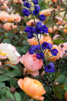 wpid16447-Combining-Roses-with-June-Perennials-GDAV128-nicola-stocken.jpg