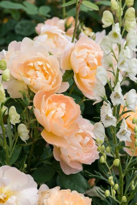 wpid16449-Combining-Roses-with-June-Perennials-GDAV130-nicola-stocken.jpg