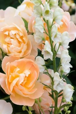 wpid16451-Combining-Roses-with-June-Perennials-GDAV132-nicola-stocken.jpg
