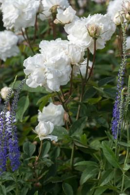 wpid16453-Combining-Roses-with-June-Perennials-GDAV133-nicola-stocken.jpg
