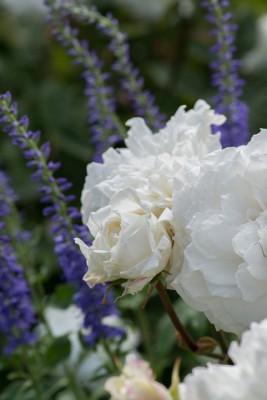 wpid16455-Combining-Roses-with-June-Perennials-GDAV134-nicola-stocken.jpg