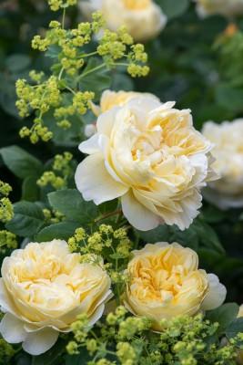 wpid16457-Combining-Roses-with-June-Perennials-GDAV135-nicola-stocken.jpg