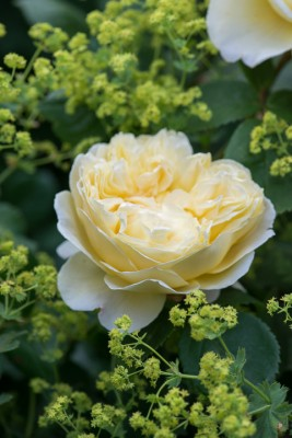 wpid16459-Combining-Roses-with-June-Perennials-GDAV136-nicola-stocken.jpg