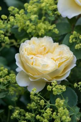 wpid16459-Combining-Roses-with-June-Perennials-GDAV136-nicola-stocken.jpg