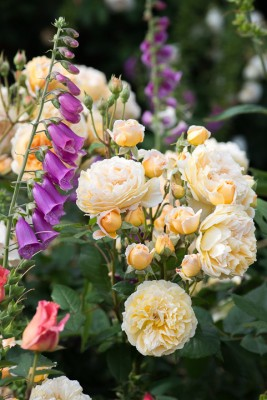 wpid16461-Combining-Roses-with-June-Perennials-GDAV137-nicola-stocken.jpg