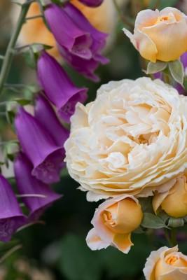wpid16463-Combining-Roses-with-June-Perennials-GDAV138-nicola-stocken.jpg