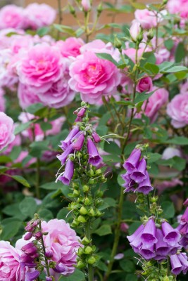 wpid16465-Combining-Roses-with-June-Perennials-GDAV139-nicola-stocken.jpg