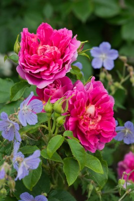 wpid16467-Combining-Roses-with-June-Perennials-GDAV140-nicola-stocken.jpg