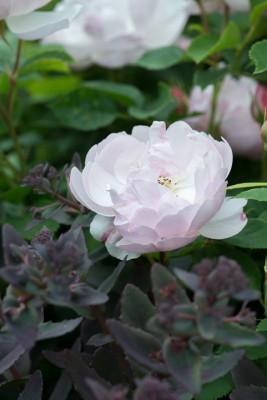 wpid16469-Combining-Roses-with-June-Perennials-GDAV141-nicola-stocken.jpg