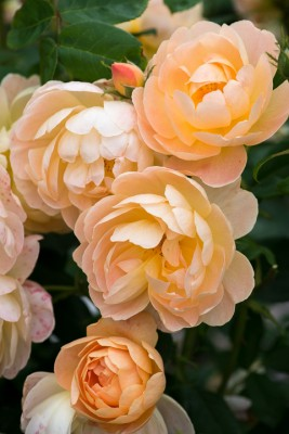 wpid16477-Combining-Roses-with-June-Perennials-GDAV157-nicola-stocken.jpg