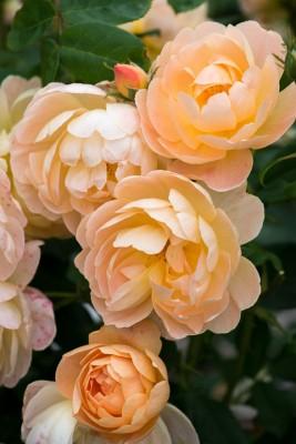 wpid16477-Combining-Roses-with-June-Perennials-GDAV157-nicola-stocken.jpg