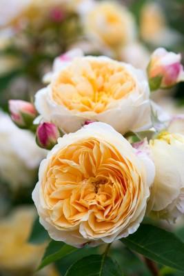 wpid16479-Combining-Roses-with-June-Perennials-GDAV166-nicola-stocken.jpg