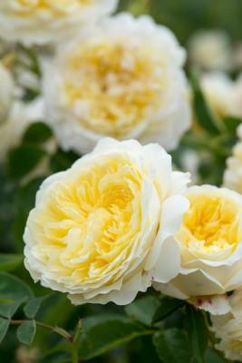 wpid16481-Combining-Roses-with-June-Perennials-GDAV169-nicola-stocken.jpg