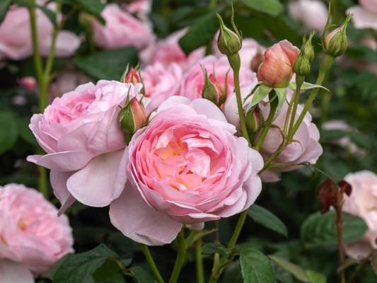 wpid16489-Combining-Roses-with-June-Perennials-ROSE332-nicola-stocken.jpg