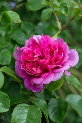 wpid16491-Combining-Roses-with-June-Perennials-ROSE418-nicola-stocken.jpg