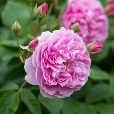 wpid16493-Combining-Roses-with-June-Perennials-ROSE422-nicola-stocken.jpg