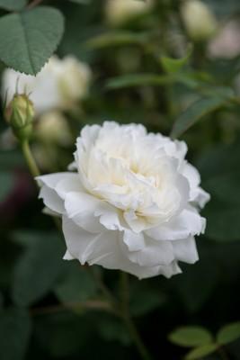 wpid16495-Combining-Roses-with-June-Perennials-ROSE426-nicola-stocken.jpg
