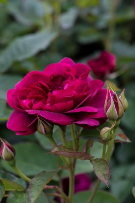 wpid16497-Combining-Roses-with-June-Perennials-ROSE437-nicola-stocken.jpg