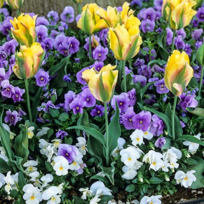 wpid16903-Spring-Tulip-Spectacular-BTUL142-nicola-stocken.jpg