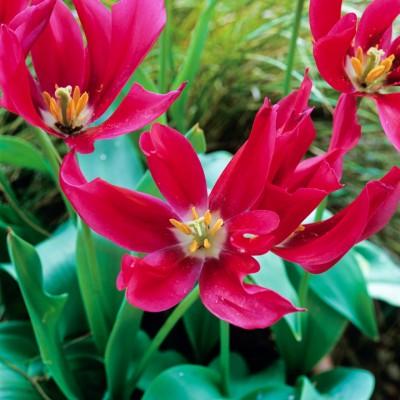 wpid16905-Spring-Tulip-Spectacular-BTUL143-nicola-stocken.jpg