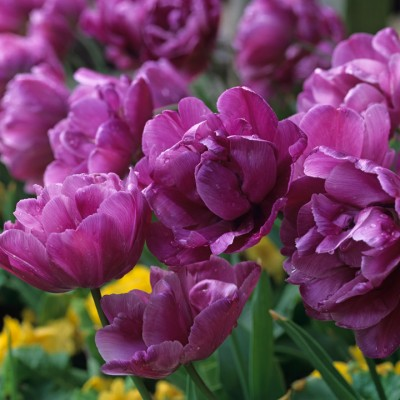 wpid16914-Spring-Tulip-Spectacular-BTUL148-nicola-stocken.jpg