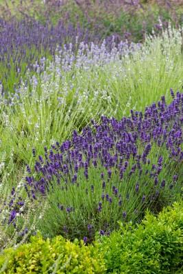 wpid17747-Lavender-Wand-Making-GORD146-nicola-stocken.jpg