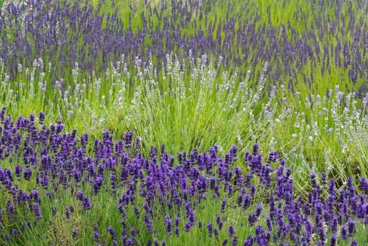 wpid17749-Lavender-Wand-Making-GORD147-nicola-stocken.jpg