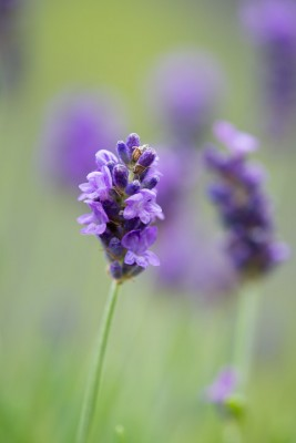 wpid17755-Lavender-Wand-Making-GORD152-nicola-stocken.jpg