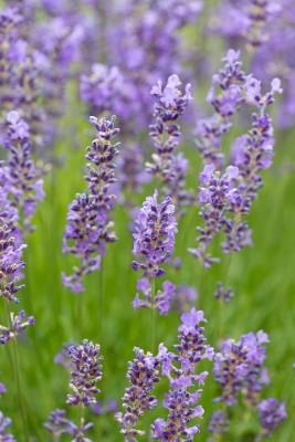 wpid17759-Lavender-Wand-Making-GORD158-nicola-stocken.jpg