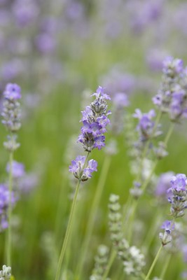 wpid17761-Lavender-Wand-Making-GORD160-nicola-stocken.jpg