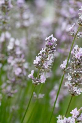 wpid17767-Lavender-Wand-Making-GORD166-nicola-stocken.jpg