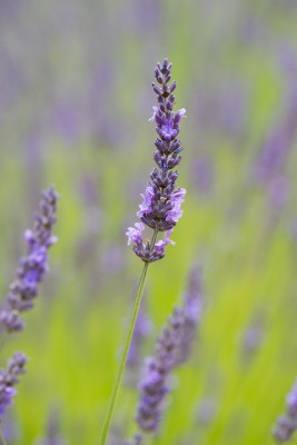 wpid17769-Lavender-Wand-Making-GORD170-nicola-stocken.jpg