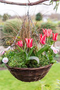 Thumbnail image for Hanging Basket in April