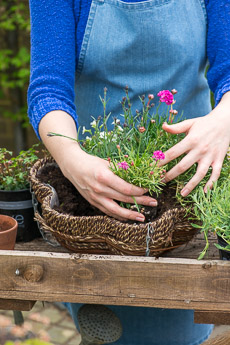 Thumbnail image for Alpine Hanging Basket in May