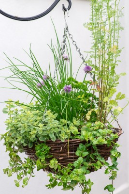 wpid18167-Herb-Hanging-Basket-in-June-QHAA133-nicola-stocken.jpg